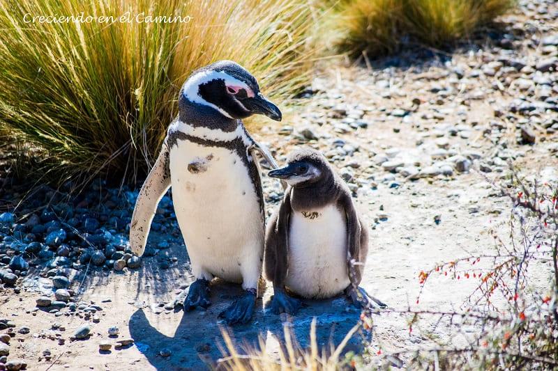 Pingüino de magallanes punta tombo argentina