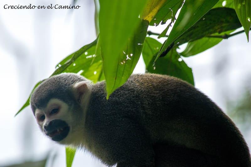Paseo de los monos, Puyo