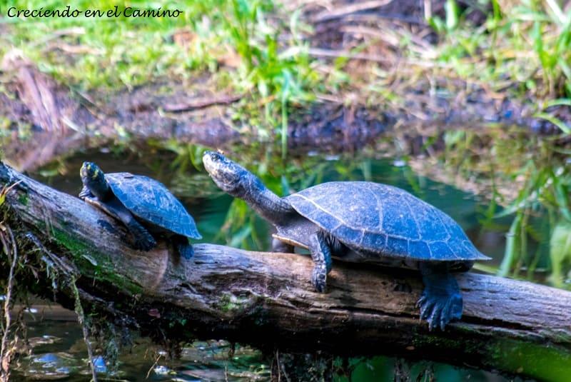tortugas Reserva de Yanacocha, Puyo