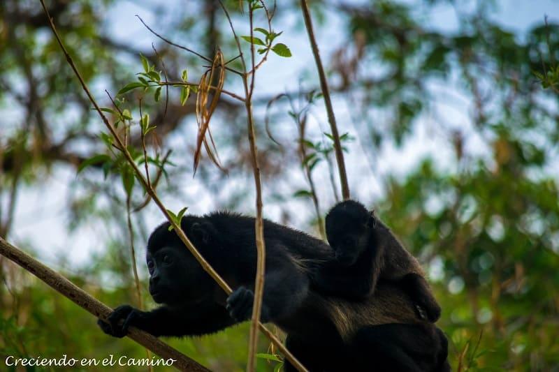 monos en reserva conchal costa rica