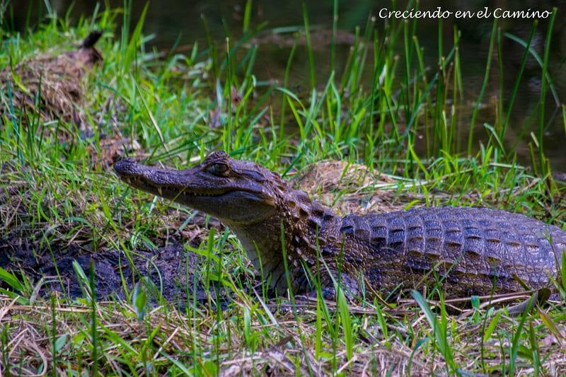 caimanes Reserva de Yanacocha, Puyo